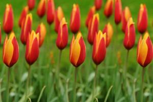 Tulipa clusiana...