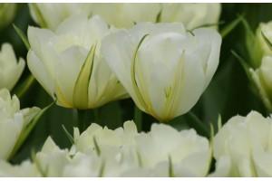 Tulipa Exotic Emperor - BIO