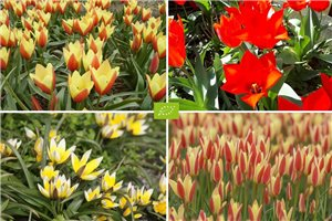 Dwarf Tulips for Naturalising - ORG