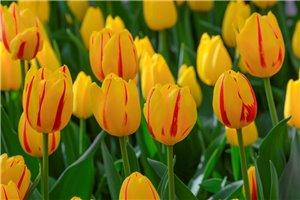 Tulipa Freedom Flame - ORG