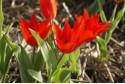 Tulipa Praestans Zwanenburg