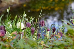 Fritillaria Meleagris - ORG