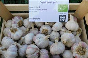 Garlic Morado - ORG