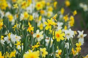 Narcissus MIX - BIO