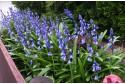 Hyacintoïdes hisp. Blauw
