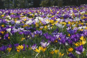 Crocus Mix - BIO