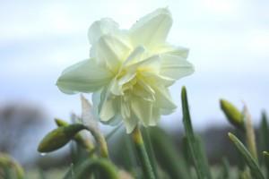 Narcissus Calgary