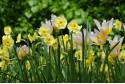Narcissus Sundisc