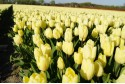 Tulipa Creme Flag