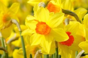 Narcissus Brackenhurst - BIO