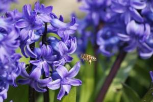 Hyacinthus Blue Star