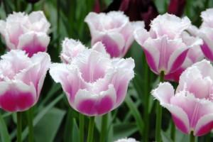Tulipa Siesta