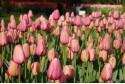 Tulipa Pink Impression - TR