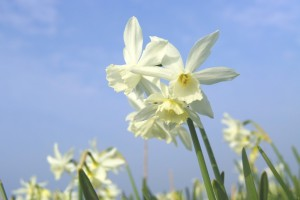 Narcissus Thalia - BIO