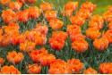 Tulipa Orange Princess - BIO