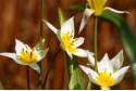 Tulipa Turkestanica - BIO