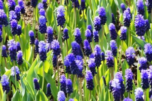 Muscari latifolium - BIO
