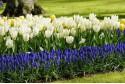 Tulipa Purissima - BIO
