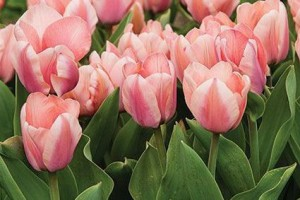 Tulipa Apricona - BIO