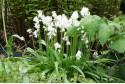 Hyacintoïdes hisp. White - BIO