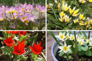 Dwarf Tulips for Naturalising - BIO