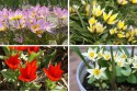 Dwarf Tulips for Naturalising - BIO