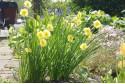Narcissus Sundisc - TR