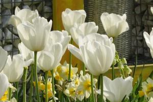 Tulipa Silver Dollar - BIO