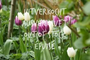 Tulipa Purple Delight Mix - BIO