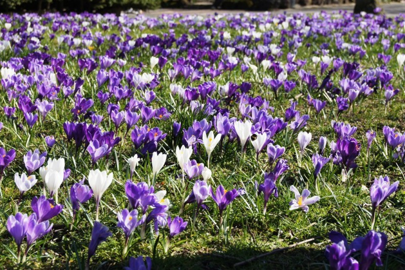 Crocus Mix purple-white - BIO