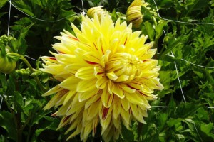 Dahlia Cambridge