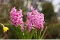 Hyacinth Pink Pearl - BIO