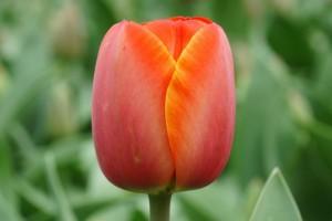 Tulipa Ad Rem - BIO