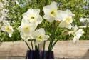 Narcissus Papillon Blanc - BIO