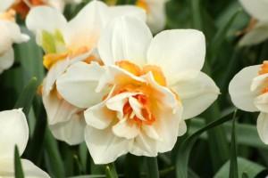 Narcissus Replete - BIO