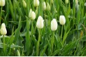 Tulipa Catherina - BIO