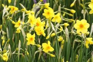 Narcissus Martinette - BIO