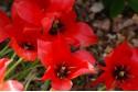 Tulipa Linifolia - BIO