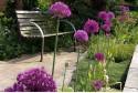 Allium Purple Sensation - BIO