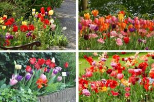 Tulipa Mix - BIO