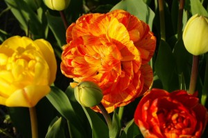 Tulipa Sun Lover - BIO