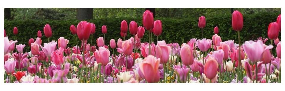 organic tulips